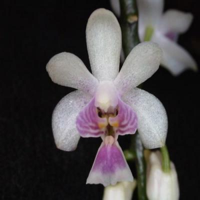 Orchid Phalaenopsis kingidium deliciosum