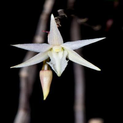 Orquídea Dendrobium klabatense