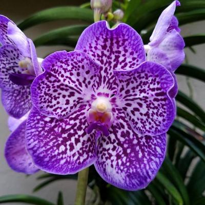 Orchidée Vanda kultana black magic x V coerulea