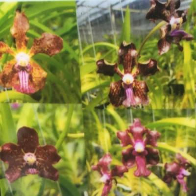 Orchidée Vanda Kultana Fragrance Hybrid