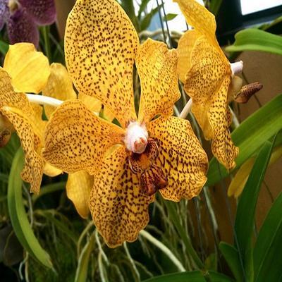 Orchidea Vanda kultana green gold x tessellata