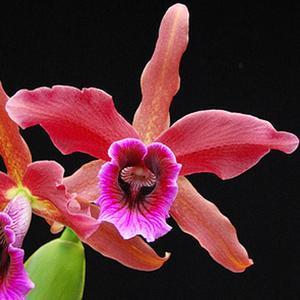 Orquídea Laelia tenebrosa