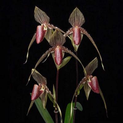 Orchidée Paphiopedilum lady isabel x anitum