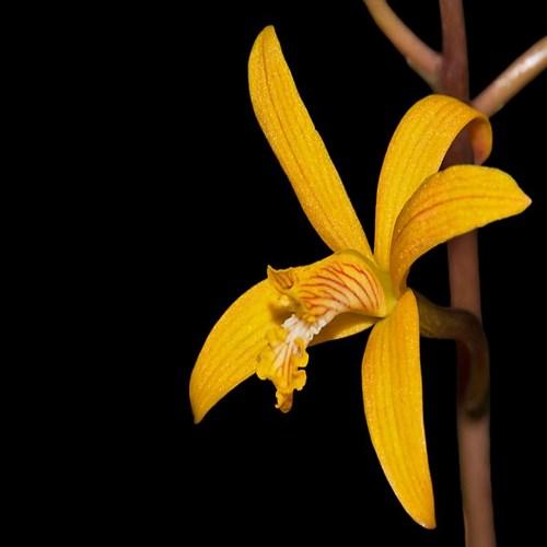 Laelia mixta orchidees en vente en ligne sur orchidee diffusion 1