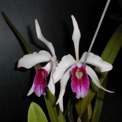 Orchid Laelia purpurata