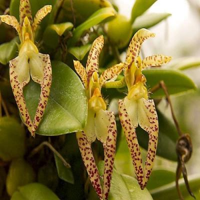 Orchid Bulbophyllum lasiochilum