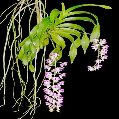 Orchid Aerides lawrenceae