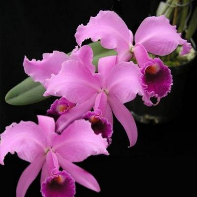 Orchidée Cattleya lawrenceana