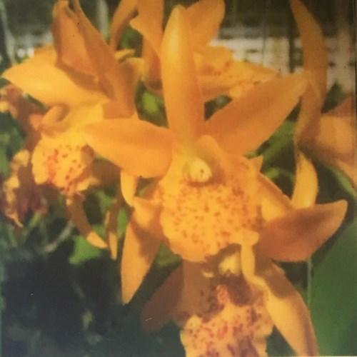 Orquídea Cattleya Lc Jairak Starburst