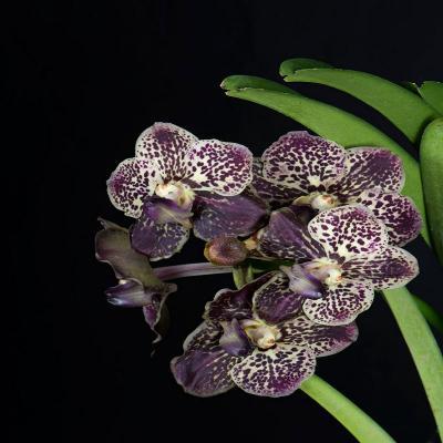 Orhidee Ascocenda leenachai x V gordon dillon lea