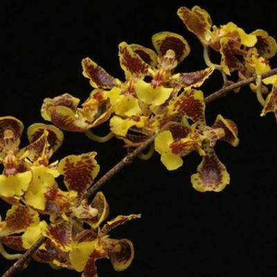 Orchidée Baptistonia leinigii