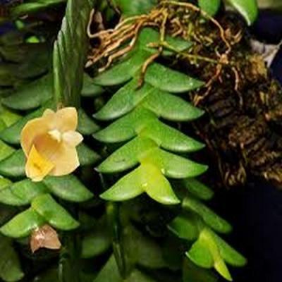 Orchidée Dendrobium leonis