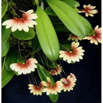 Orquídea Bulbophyllum lepidum