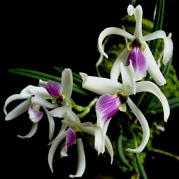 Orchid Leptotes bicolor