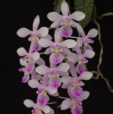Orchidée Phalaenopsis lindenii