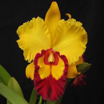 Orchid Cattleya liu's joyance