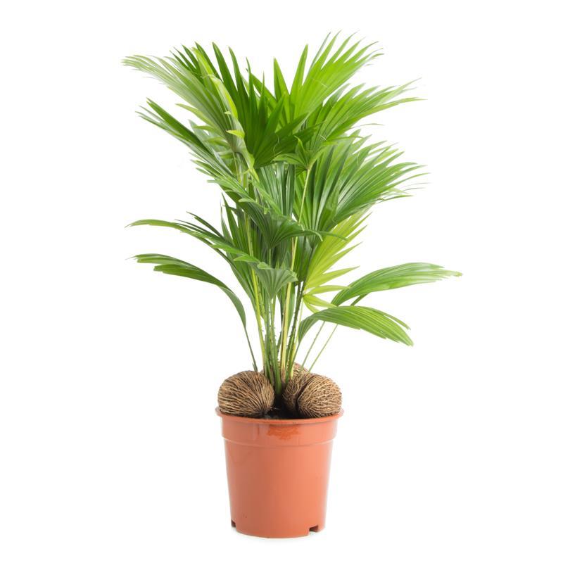 Livistona rotundifolia d17 a vendre