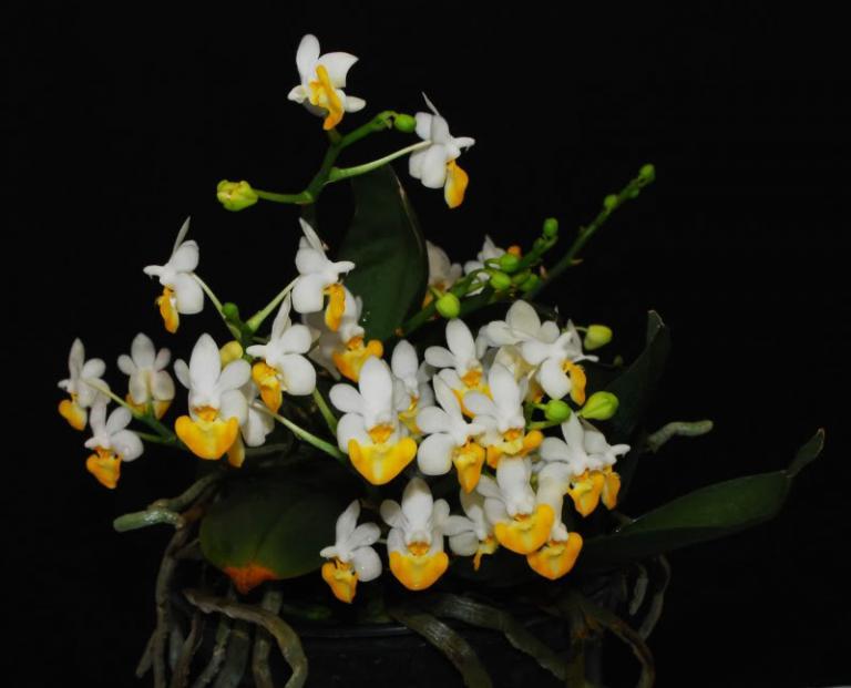 Orquídea Phalaenopsis lobbii