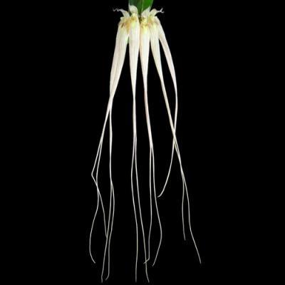 Orchid Bulbophyllum Cirrhopetalum longissimum