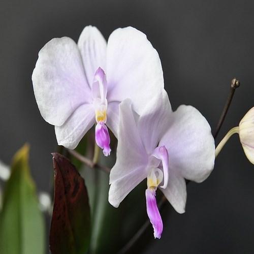 Orhidee Phalaenopsis lowii