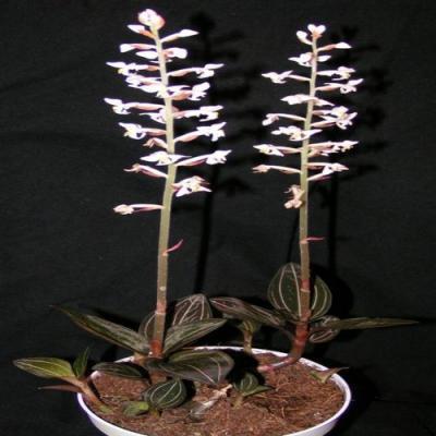 Orchidée Ludisia discolor