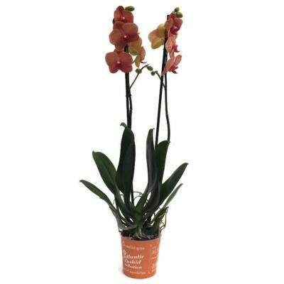 Orchidea Phalaenopsis 2 rami Surf Song