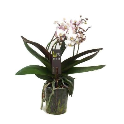 Orchid Phalaenopsis 6 branches mf Pink wild