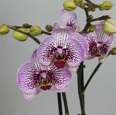 Orchidee Phalaenopsis MANSION