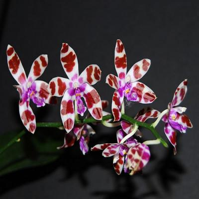Orchidee Phalaenopsis mariae