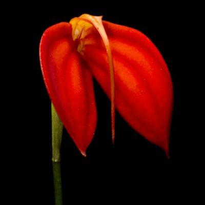 Orchid Masdevallia ignea