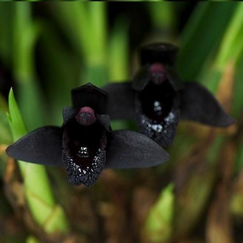 Orquídea Maxillaria schunkeana