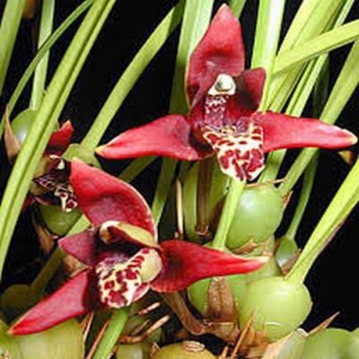 Orchidée Maxillaria tenuifolia
