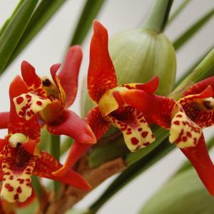 Maxillariatenuifolia 2