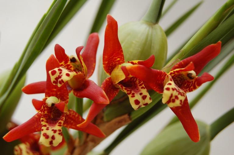 Orchidee Maxillaria tenuifolia