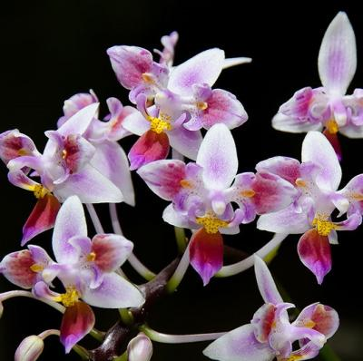 Orchidée Phalaenopsis equestris peloric