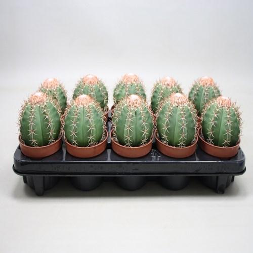 Melocactus matanzanus cactus a vendre
