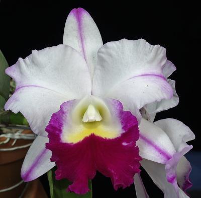 Orchid Cattleya mem anna balmores