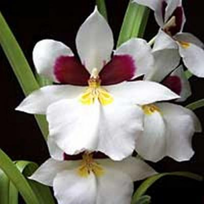 Orquídea Miltonia white