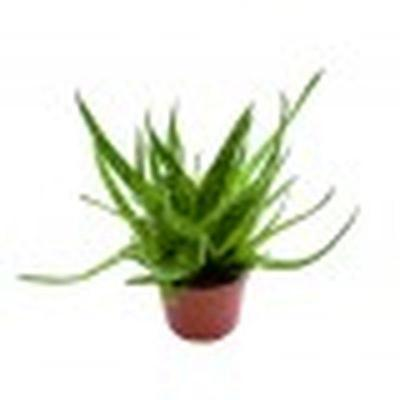 Mini Aloe bakeri