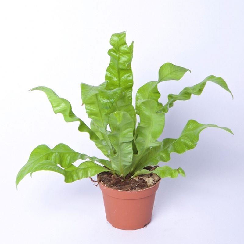 Mini asplenium nidus a vendre