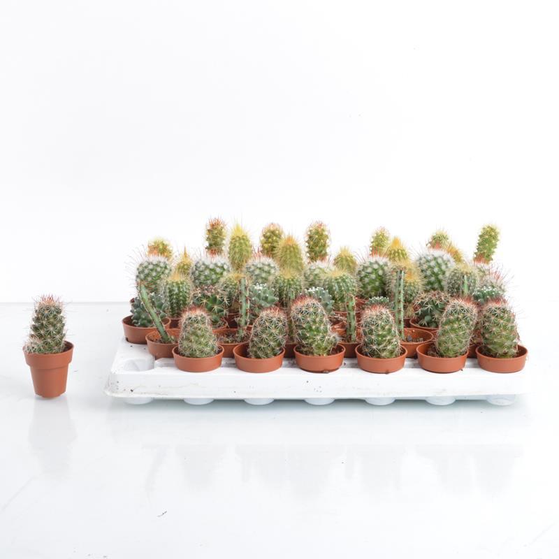 Mini cactus hybride a vendre