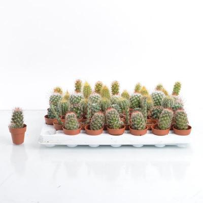Mini Cactus hybride