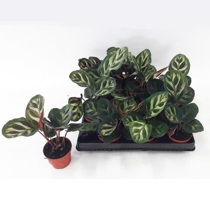 Mini calathea makoyana a vendre