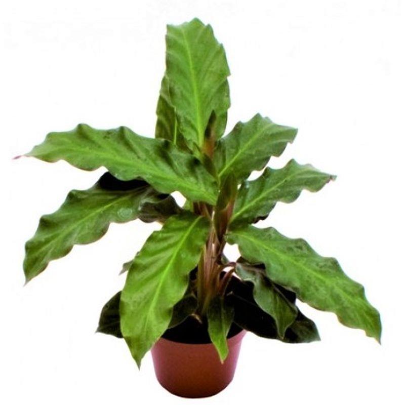 Mini calathea rufibarba a vendre
