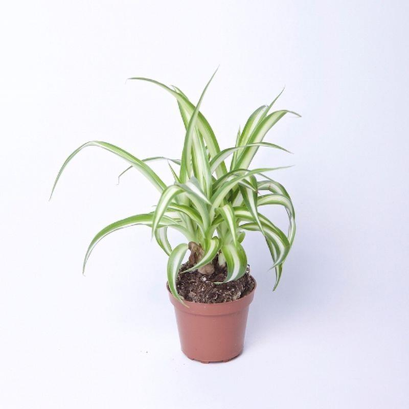 Mini chlorophytum comosum a vendre