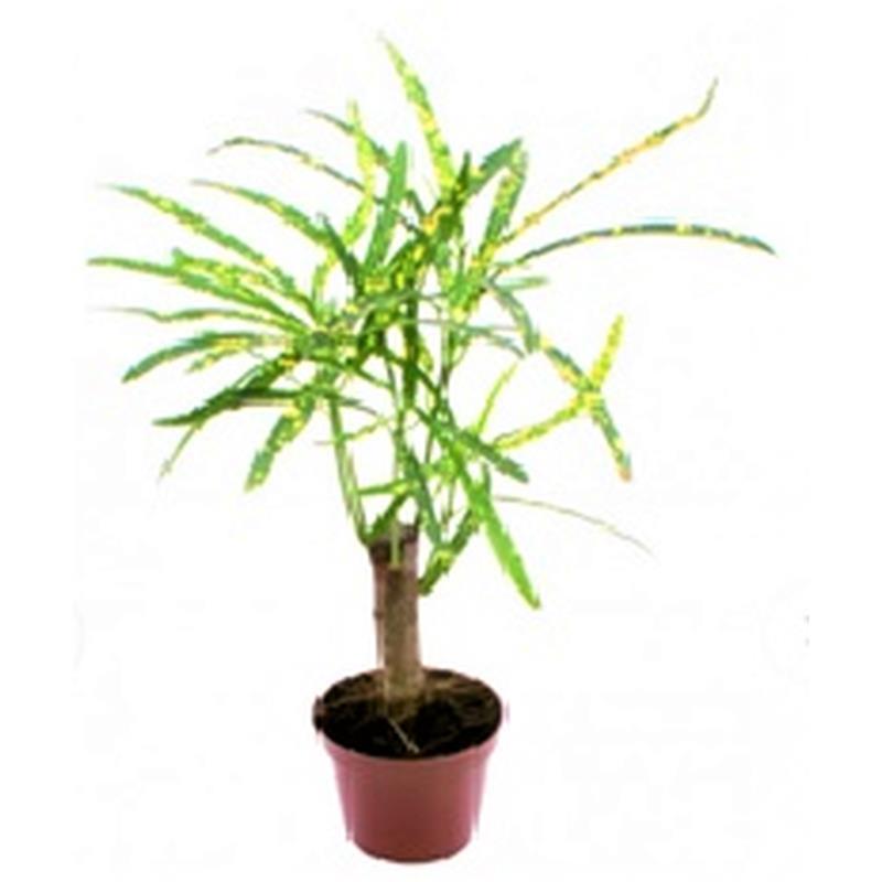 Mini codiaeum variegatum a vendre