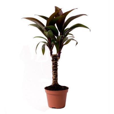 Mini Cordyline Fruticosa
