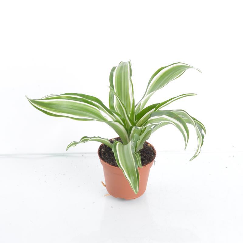 Mini dracaena deremensis a vendre