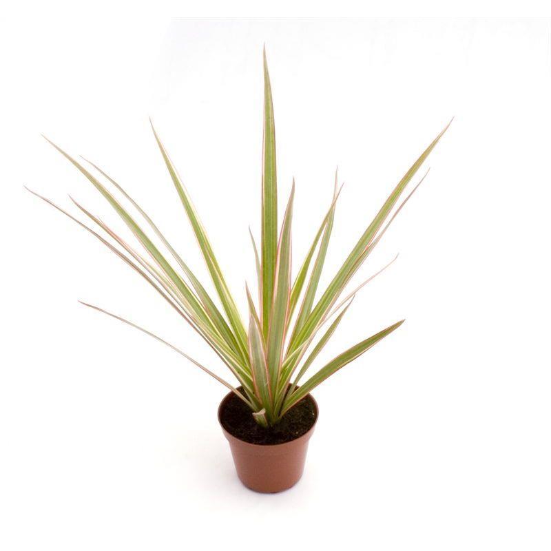 Mini dracaena marginata bicolor touffe a vendre
