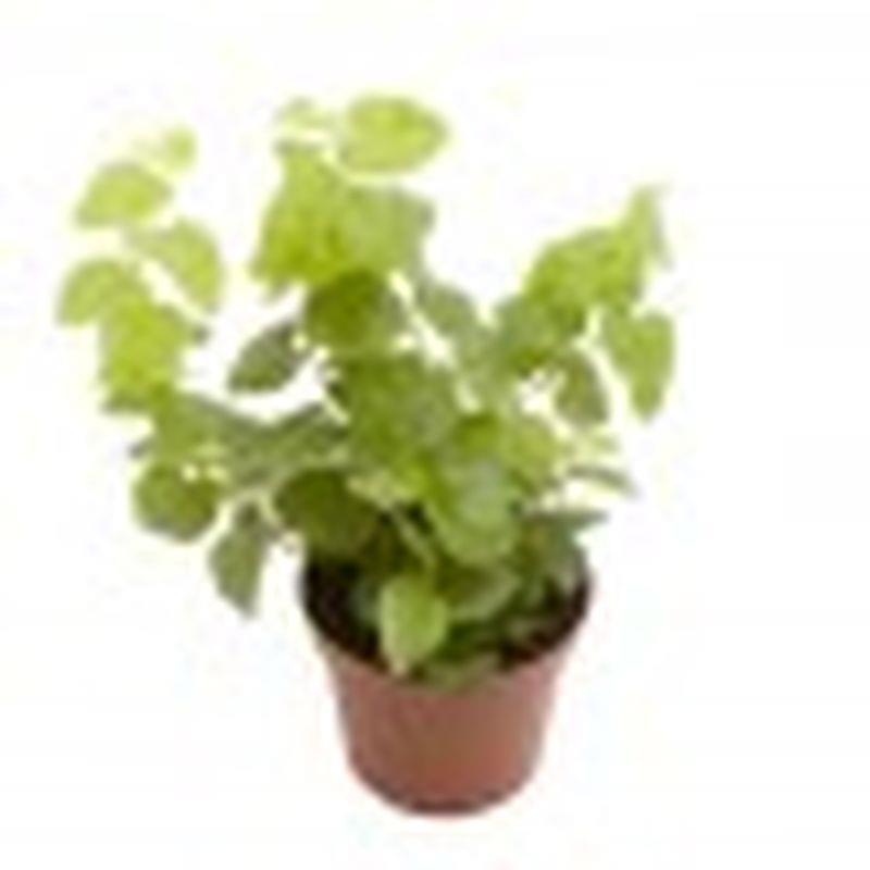Mini ficus pumila arina a vendre